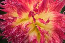 N.A., USA, Alaska.  Dahlia in garden. by Danita Delimont