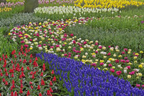 Garden design of Grape Hyacinth, and tulips, Keukenhof Gardens von Danita Delimont