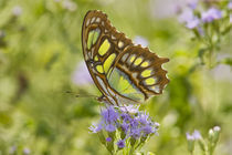 Malachite butterfly nectoring on mist flower, Falcon Lake State Park, Texas von Danita Delimont