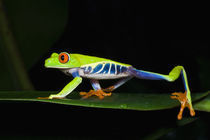 Costa Rica, Red-eyed Tree Frog (Agalychnis callidryas)   by Danita Delimont