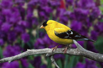 Male, American Goldfinch in summer plumage, Carduelis tristis von Danita Delimont