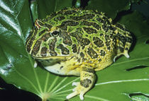 Ornate Horned Frog, (Ceratophrys ornata), Brazil von Danita Delimont