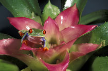 Red-eyed tree frog (Agalychnis callidryas) by Danita Delimont