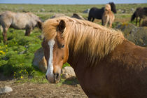 Icelandic Horses in northeastern Iceland. by Danita Delimont