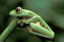 Central America, Panama, Barro Colorado Island  Red-eyed tree frog von Danita Delimont