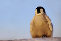 Emperor penguin chick, Aptenodytes forsteri, Antarctica von Danita Delimont