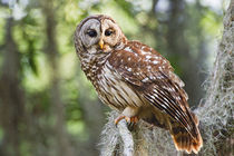 Barred Owl, adult in old growth east Texas forest with Spanish Moss, Caddo Lake by Danita Delimont