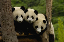 Giant panda babies (Ailuropoda melanoleuca) Family by Danita Delimont