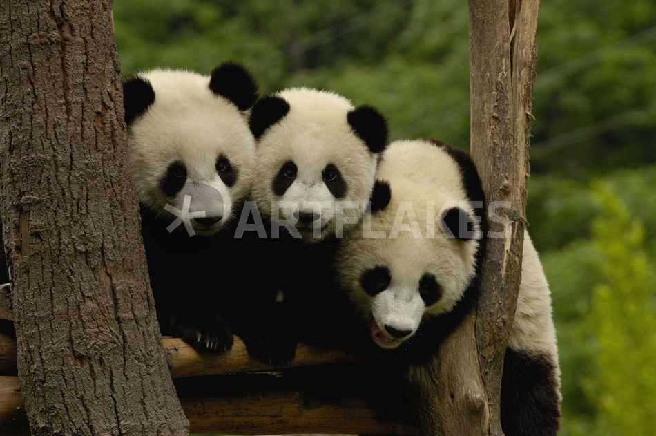 giant panda babies ailuropoda melanoleuca family picture art prints and posters by danita. Black Bedroom Furniture Sets. Home Design Ideas