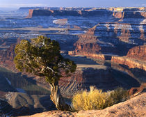 DEADHORSE POINT STATE PARK, UTAH. USA. Juniper on rim of Colorado River Canyon by Danita Delimont