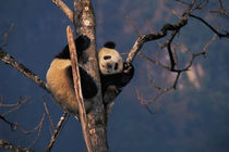 Baby panda playing on tree, Wolong, Sichuan Province, China by Danita Delimont