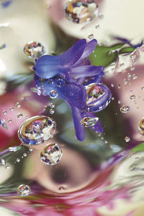 Hyacinth Bud on Mylar With Reflections. Credit as von Danita Delimont