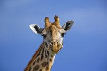 Giraffe, Masai Mara Game Reserve von Danita Delimont
