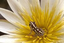 Reed frog, Hyperolius sp., in water lily, Okavango Delta, Botswana von Danita Delimont