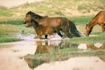 Asia, Mongolia, Gobi Desert. Wild horses. von Danita Delimont