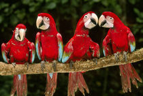 Red-and-green macaws on tree branch,Tambopata National Reserve by Danita Delimont