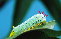 Prometheus Moth Caterpillar Callosamia promethea Eastern US by Danita Delimont