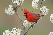 Male Northern Cardinal among pear tree blossoms, Kentucky   by Danita Delimont