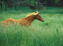 A young stallion runs through a meadow of tall grass. by Danita Delimont