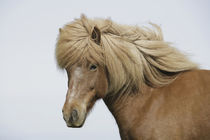 Iceland. Portrait of an Icelandic horse. Credit as von Danita Delimont