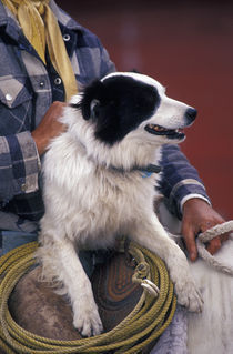 N.A., USA, Oregon, Seneca, Ponderosa Ranch Cowboy in saddle with dog by Danita Delimont