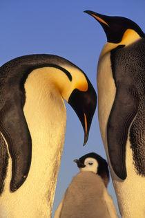Emperor penguin family, Aptenodytes forsteri, Weddell Sea, Antarctica by Danita Delimont