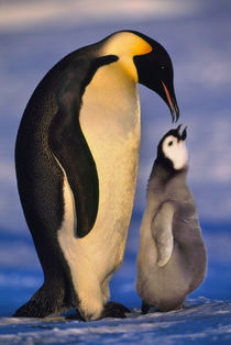 Emperor penguin with chick begging, for food   Aptenodytes forsteri, Antarctica von Danita Delimont