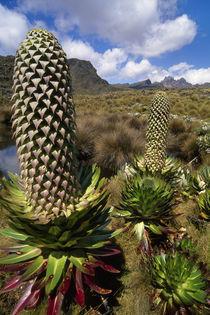 Lobelia flower, Lobelia deckenii, Mt Kenya National Park, Kenya by Danita Delimont