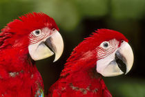 Red-and-green macaws, Ara chloropterus, Tambopata National Reserve, Peru by Danita Delimont