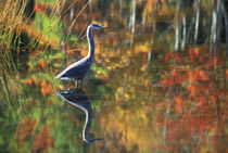 USA,New York,Adirondacks,Great Blue Heron in Fall Reflection. Credit as by Danita Delimont