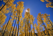 Aspen grove in autumn in the San Juan Range of Colorado von Danita Delimont