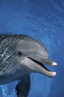 North America, USA, Hawaii. Dolphin by Danita Delimont