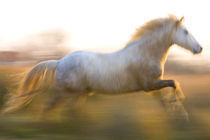 France, Provence. White Camargue horse running. Credit as by Danita Delimont
