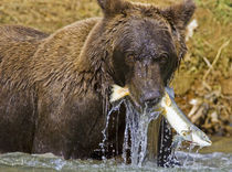 A coastal brown bear fishes, Alaska von Danita Delimont