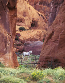 USA,Arizona,White Mountains,Canyon de Chelly,White horse, red rock. Credit as by Danita Delimont