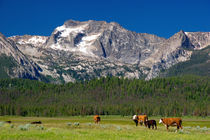 Cattle graze in the Stanley Basin, Idaho. von Danita Delimont
