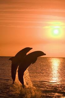 Bottlenose Dolphins (Tursiops truncatus) Caribbean Sea, Honduras von Danita Delimont