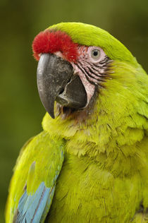 Military macaw (Ara militaris) CAPTIVE  Amazon Rain Forest. ECUADOR by Danita Delimont