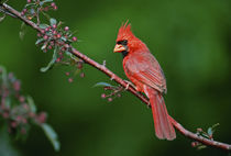 Male Northern Cardinal by Danita Delimont