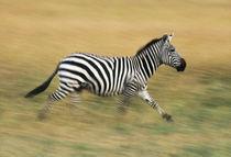 Zebra running, Equus quagga, Masai Mara Reserve, Kenya by Danita Delimont