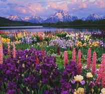 Iris and Lupine garden and Teton Range at Oxbow Bend, Wyoming, Digital Composite by Danita Delimont