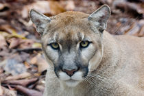 Cougar, mountain lion, Florida panther von Danita Delimont