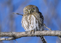Africa, Zimbabwe. Close-up of pearl spotted owl on branch. Credit as von Danita Delimont