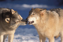 Gray wolf, Canis lupus, one checking out what the other is eating by Danita Delimont