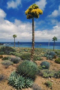 Century plant (Parry's agave), Agave parryi, Cedros Island by Danita Delimont