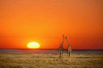 A Giraffe couple walks into the sunset, in Namibia's Etosha National Park by Danita Delimont