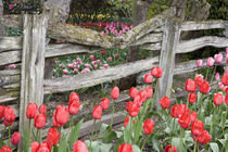 WA, Skagit Valley, Roozengaarde Tulip Garden, Tulips and wood fence by Danita Delimont