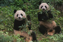 Two pandas eating bamboo together, Wolong, Sichuan, China by Danita Delimont