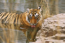 Royal Bengal Tiger drinking in the forest pond, Ranthambhor National Park, India by Danita Delimont