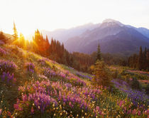 Field of lupine and Olympic Mountains at sunrise, Olympic National Park by Danita Delimont